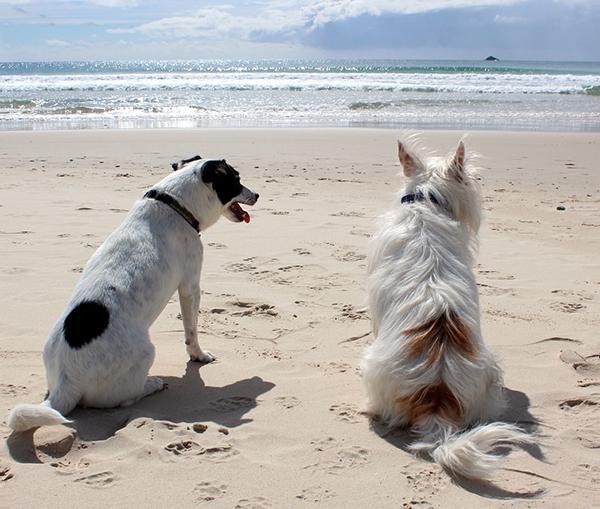 Pawleys Island Beach: Dogs On The Beach -Town Of Pawleys Island, SC